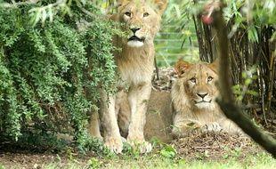 Deux lions ont réussi à s'échapper jeudi matin de leur enclos du zoo de Leipzig (est de l'Allemagne) et l'un deux a dû être abattu