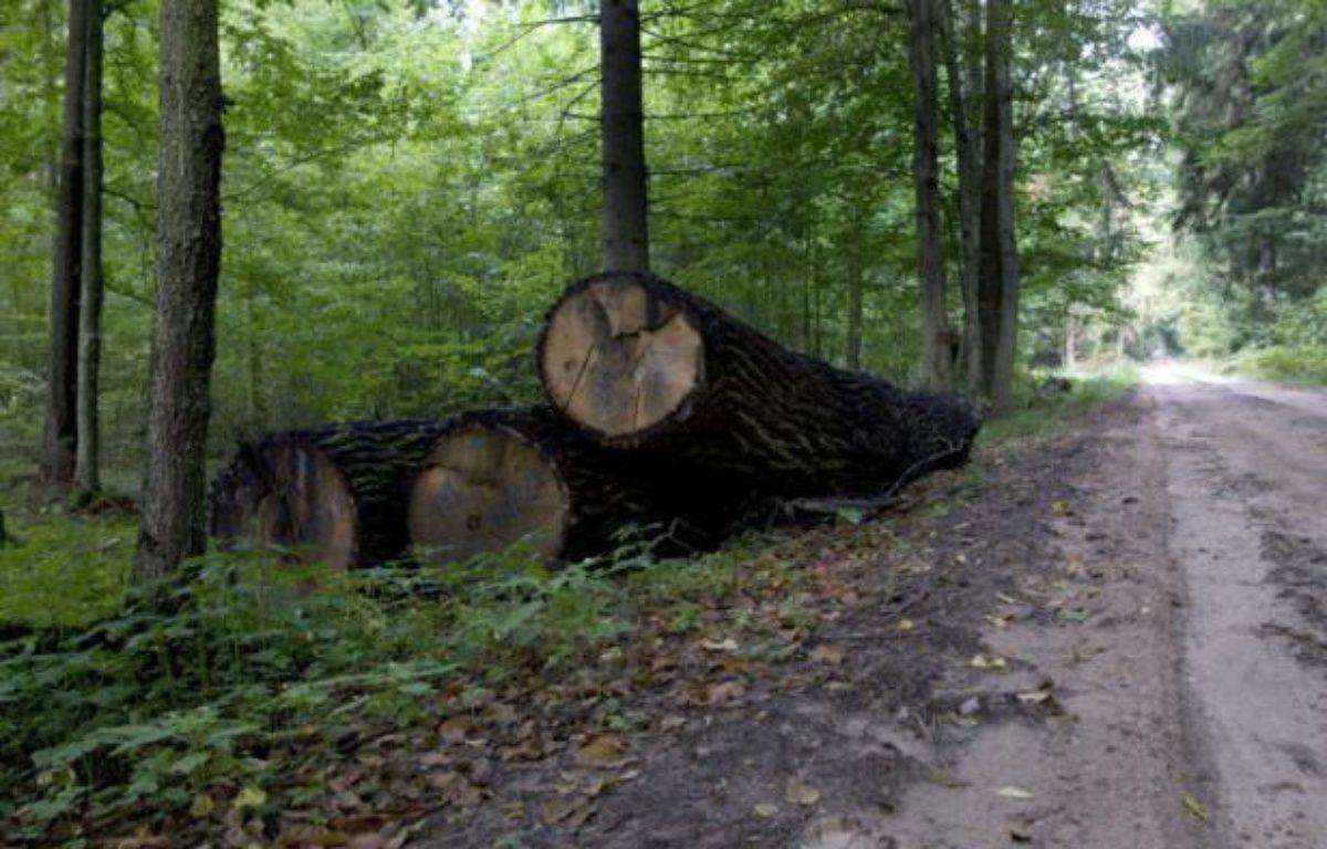 Des arbres abattus dans la forêt de Bialowieza en Pologne, le 20 août 2010 – LUDMILA MITREGA AFP