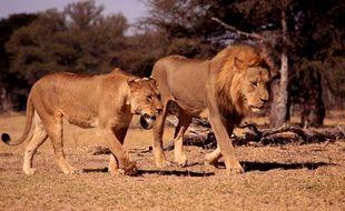 Xander, le fils du lion Cecil, a été abattu par un chasseur le 7 juillet 2017.