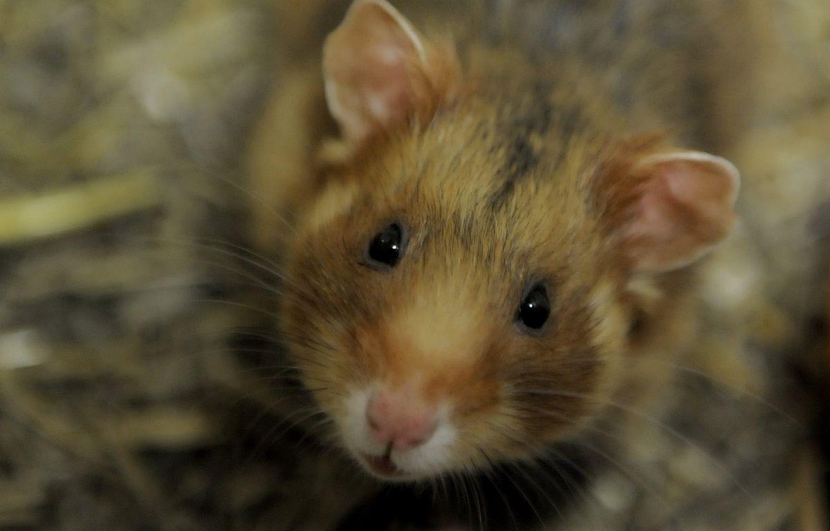 Alsace: Selon une étude, le maïs pousse le grand hamster à tuer ses bébés. – G . VARELA / 20 MINUTES