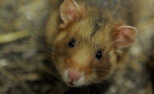 Alsace: Selon une étude, le maïs pousse le grand hamster à tuer ses bébés.