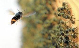 Le frelon asiatique (en haut) menace les abeilles, mais le moustique tigre (en bas) peut être nuisible pour l'homme.