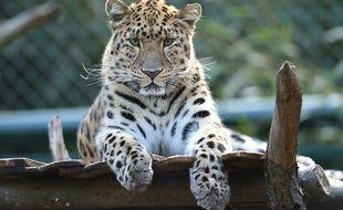 Un léopard de l'Amour à Bellewaerde Parc (Belgique)