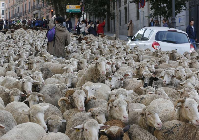 A shepherd tries to guide a flock of sheep that turned around as they were driven through central Madrid, Spain, Sunday, Oct. 21, 2018. Shepherds guided sheep through the Madrid streets in defence of ancient grazing and migration rights increasingly threatened by urban sprawl and modern agricultural practices. (AP Photo/Paul White)/PW102/18294400747763/1810211349
