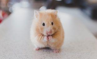 Hamster. Image d'illustration.