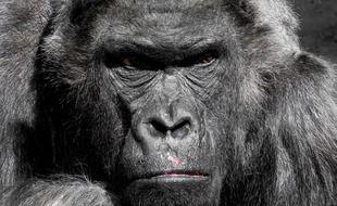 Des gorilles ont été contaminés par le coronavirus
