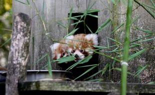 A Bordeaux, le 8 septembre 2014- Les deux petits pandas roux nés au zoo de Pessac.