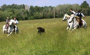 Des éleveurs tentent de capturer un taureau en Camargue.