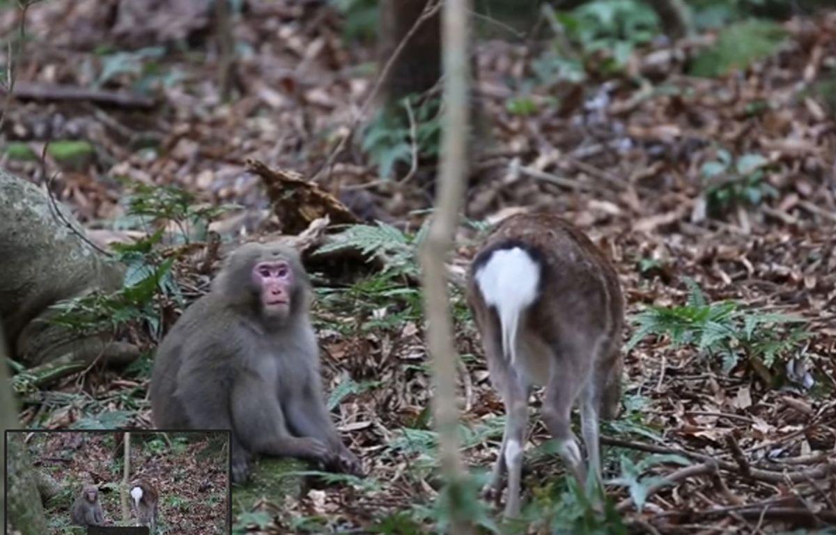 Capture d'écran de la vidéo sur YouTube de la copulation entre un macaque et une biche, filmée par le photographe Alexandre Bonnefoy.  – Alexandre Bonnefoy/ You Tube