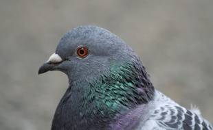 Le pigeon biset, une espèce très commune.