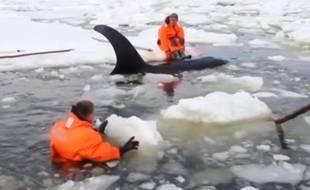 Quatre orques piégées dans la glace ont été secourues le 19 avril 2016 en Russie.