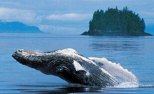 Baleine a bosse bondissant hors de l'eau le long des cotes de l'Alaska (illustration).