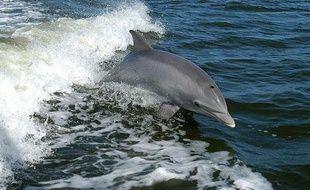 Un grand dauphin, également appelé dauphin au gros nez.