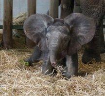 Makeba, un éléphanteau femelle née au zoo de Plaisance du Touch en mars 2017.