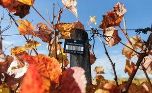 Une vigne expérimentale à Villenave-d'Ornon le 6 novembre 2015