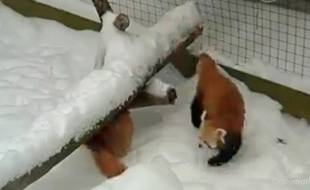 Capture d'écran des pandas roux de New York.