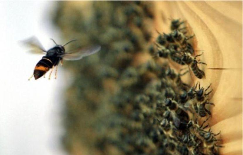 Bas-Rhin: Destruction de nids de frelons, guêpes, abeilles… Dorénavant il faudra payer les pompiers