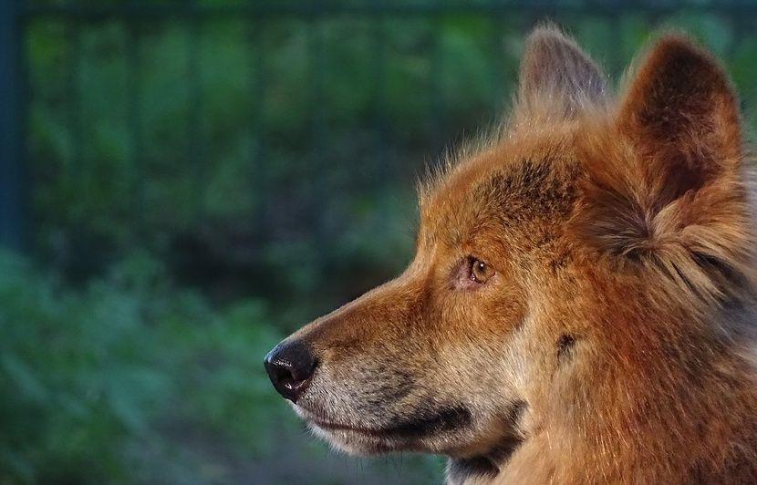 Australie: Un père délivre son fils d'un an de la gueule d'un dingo
