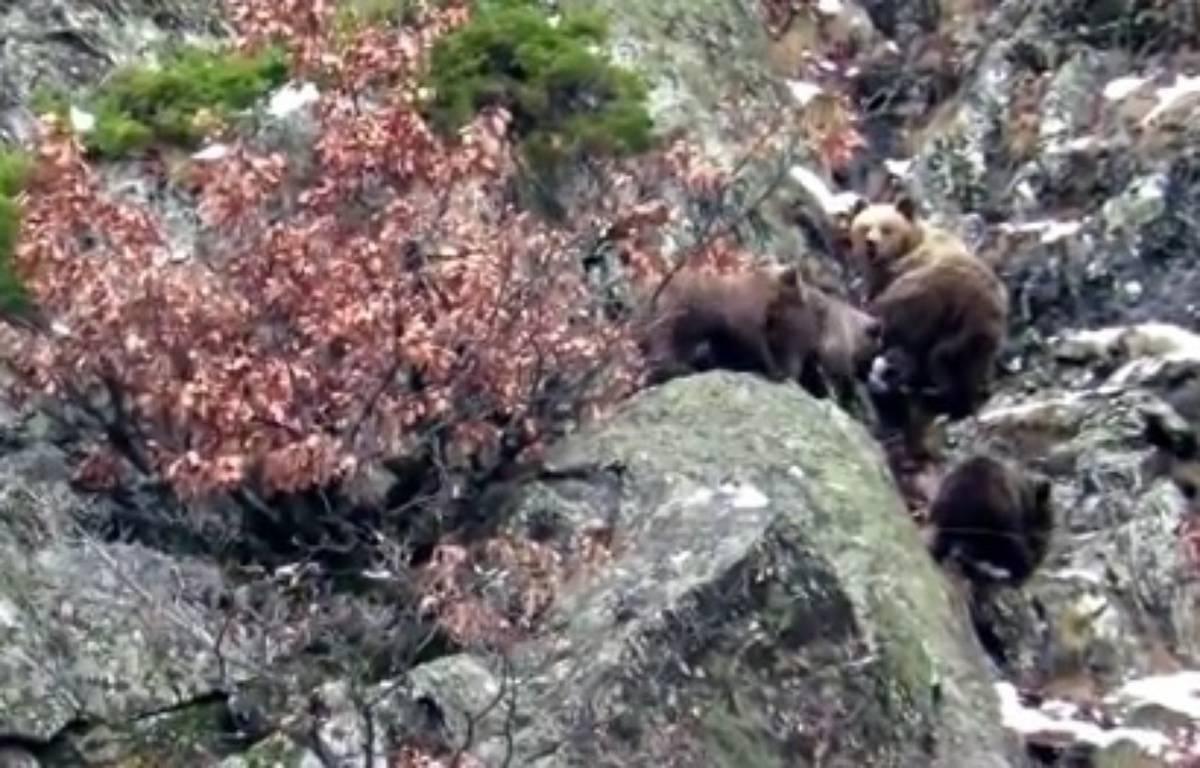 L'ourse Caramellita et ses trois oursons dans les Pyrénées catalanes, en janvier 2016. – YouTube / Pays de l'Ours - Adet