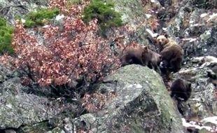 L'ourse Caramellita et ses trois oursons dans les Pyrénées catalanes, en janvier 2016.