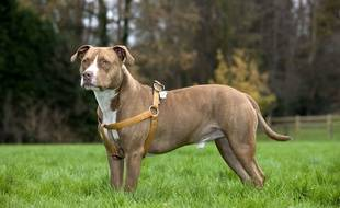 Un American Staffordshire Terrier. (Illustration)