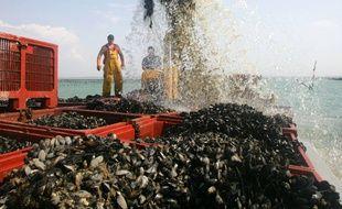 Des moules de bouchots sont récoltées dans la baie du Mont Saint-Michel. Ici au large du Vivier-sur-Mer.