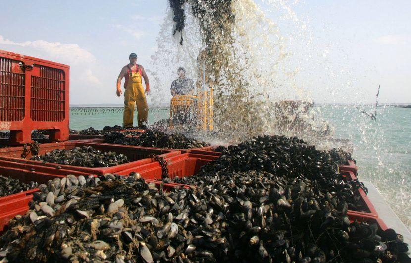Bretagne : Les petites moules, un problème caché au fond de la baie du Mont Saint-Michel