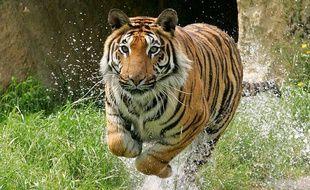 Lorraine: Une course à travers le zoo d'Amnéville pour sauver des tigres (Illustration)