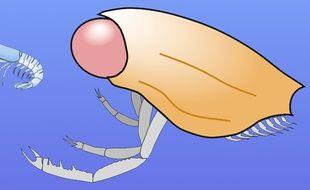 Le Dollocaris vivait à l'ère du Jurassique.