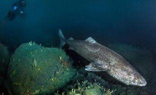 """Photo transmise par """"Under the pôle II"""" le 4 decembre 2014 d'un requin au Groenland prise en novembre 2014"""