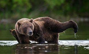 Un grizzli s'étire et se gratte contre une branche en Sibérie
