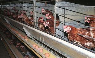 Des poules pondeuses en batterie (illustration).