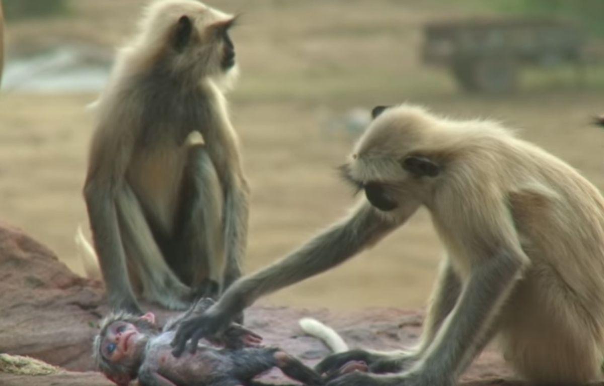 La réaction des singes face à la mort d'un petit robot qui se trouvait parmi eux est devenue virale, comme en témoigne une vidéo de la BBC postée sur YouTube le 11 janvier 2017. – Capture d'écran / YouTube