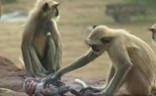 La réaction des singes face à la mort d'un petit robot qui se trouvait parmi eux est devenue virale, comme en témoigne une vidéo de la BBC postée sur YouTube le 11 janvier 2017.