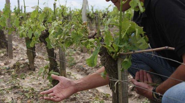 Un viticulteur de Bordeaux dans ses vignes. – SIPA