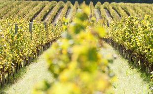 La canicule pourrait annoncer un rendement en baisse pour la récolte 2016 dans le Bordelai.