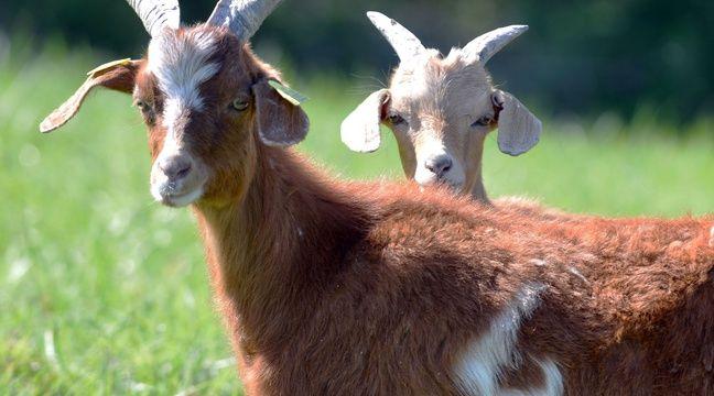 Comment Donald Trump a économisé des milliers de dollars de taxe foncière grâce à des chèvres
