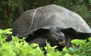 Une tortue géante des Galapagos (illustration).