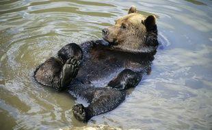 Un ours brun comme ceux qui vivent dans les Pyrénées. Illustration