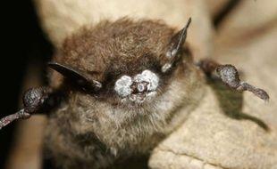 Une chauve-souris atteinte du syndrome du nez blanc.