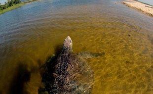 Une tortue olivâtre (Lepidochelys olivacea) nage dans les eaux d'Aquila, sur la côte pacifique de l'Etat de Michoacan, au Mexique, le 13 octobre 2013