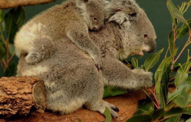 Photo d'illustration d'un koala portant son petit sur son dos.