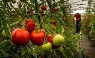 Illustration d'une serre de culture de tomates.