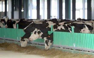 """Les premières vaches laitières de la controversée """"ferme des 1.000 vaches"""" à Drucat, dans la Somme, après leur arrivée le 13 septembre 2014"""