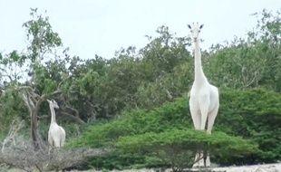 Cette image de girafes blanches a été prise en 2017, au Kenya.