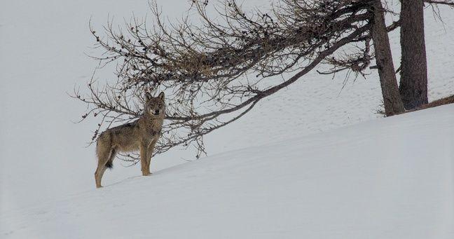 Un loup filmé par Jean-Michel Bertrand.