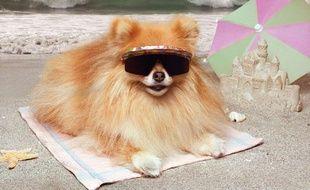 Un Poméranien en vacances sur une plage.