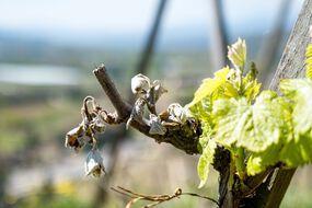 Vague de gel extrême, printemps précoce...Comment les viticulteurs vont devoir s'adapter pour faire face aux aléas climatiques.