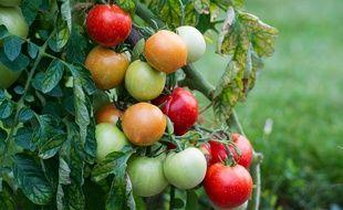 Illustration d'un plant de tomates dans une exploitation agricole.