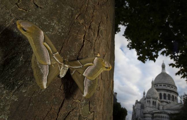 Un bombyx sur un arbre non loin de la butte Montmartre.